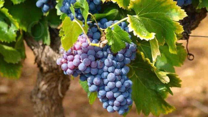 Eating Grapes May Ensure Against Sun Burn